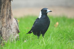 White-backed magpie Royalty Free Stock Image