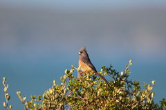 White Backed Mousebird Stock Photos