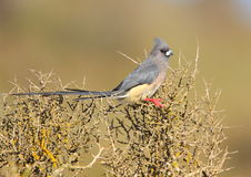 White Backed Mousebird Stock Photography