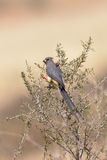 White backed Mousebird perched in bush Royalty Free Stock Images
