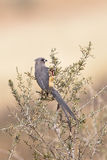 White backed Mousebird perched in bush Royalty Free Stock Photo