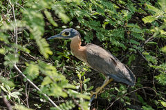 White-backed night heron during day Stock Images