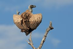 White-backed vulture Stock Image