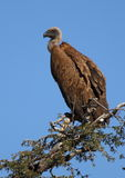 White Backed Vulture Royalty Free Stock Photos