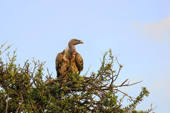 White-backed Vulture Stock Photography