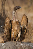 White-backed vulture royalty free stock photos