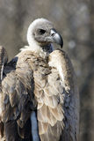 White-backed vulture. (Gyps africanus royalty free stock photos