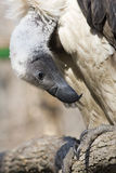 White-backed vulture. (Gyps africanus royalty free stock photo