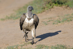 White-backed Vulture. African White-backed Vulture running on the ground Royalty Free Stock Photography