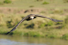 White-backed Vulture. African White-backed Vulture flying Stock Photography