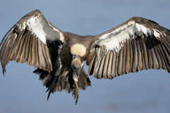 White-backed Vulture. African White-backed Vulture flying royalty free stock image