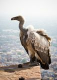 White backed vulture Stock Photo