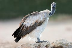 Free White-backed Vulture Royalty Free Stock Photos - 6214808