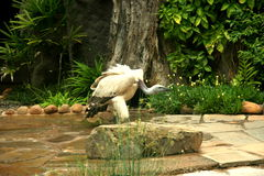 White-backed vulture in a Bird Park. The bird was at a Bird Park in Durban. They use him to tell the people more about his eating habits ect Royalty Free Stock Photos