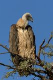 White backed Vulture on a branch against a blue background. White-backed Vulture against a blue background on branches. The carnivore is a hunter and a Royalty Free Stock Photos