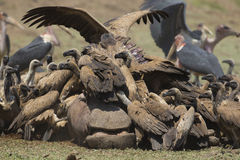 White-backed Vulture crowding on Hippopotamus carcass. White-backed Vulture (Gyps africanus) crowding on Hippopotamus carcass (Hippopotamus amphibius), Marabou Stock Photography
