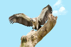 White backed vulture on dead tree Stock Photo