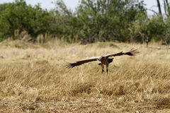White-Backed Vulture in Flight Stock Image