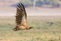 White-backed vulture in flight Stock Images