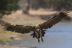 White-backed Vulture in flight. White-backed Vulture (Gyps africanus) in flight Royalty Free Stock Photo