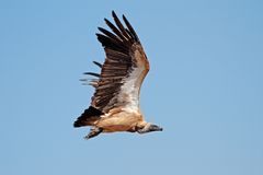 White-backed vulture in flight Royalty Free Stock Image