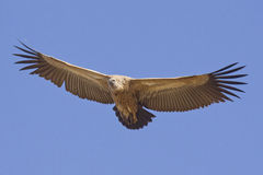 White Backed Vulture in flight, South Africa Royalty Free Stock Images