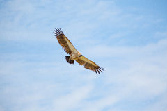 White-backed vulture Royalty Free Stock Images
