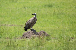 White-backed Vulture in grassy ambiance Royalty Free Stock Images