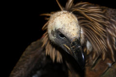 White-backed vulture (Gyps africanus). Isolated head of a White-backed vulture royalty free illustration