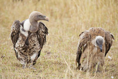 White-backed Vulture (Gyps africanus). Pair of African vultures resting in the bush stock image