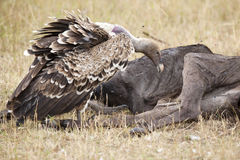 White-backed Vulture (Gyps africanus). African vulture that feeds on the carcass of a Gnu royalty free stock photography