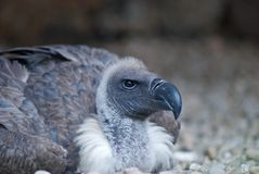White-backed Vulture - Gyps africanus Stock Photo