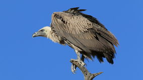White-backed vulture stock video footage