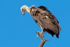White-backed vulture Stock Photo