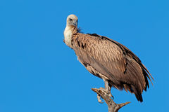 White-backed vulture Stock Photos