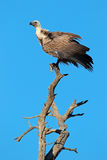 White-backed vulture Royalty Free Stock Photo
