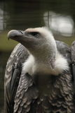 White-backed vulture (Gyps africanus) Royalty Free Stock Image