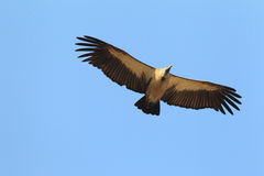 White-backed Vulture. (Gyps africanus) in Ghana, Africa royalty free stock images