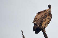 White-backed vulture (Gyps africanus) Stock Photography