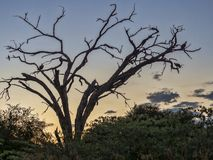 White-backed vulture, Gyps africanus, sitting in the evening on a dry tree, in Bwabwata, Namibia stock image