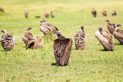 White-backed vulture herd having rest on grassland Royalty Free Stock Images
