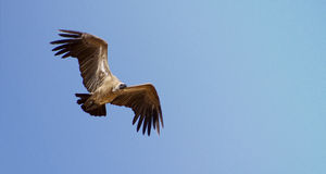 White Backed Vulture Stock Image