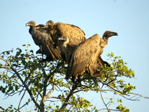 Southern african birds. White-backed vulture at  KNP Royalty Free Stock Image