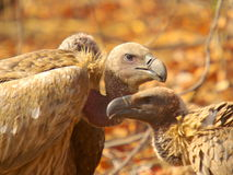 Southern african birds. White-backed vulture at  KNP Royalty Free Stock Photos