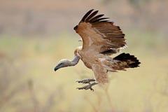 White-backed vulture landing Royalty Free Stock Image