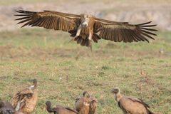 White-backed vulture landing by prey Royalty Free Stock Photography