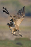 White Backed Vulture landing on a river bank in Southern Africa Stock Photography