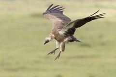 White-backed vulture landing royalty free stock photo
