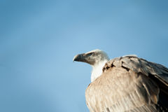 White backed Vulture on the lookout Royalty Free Stock Images