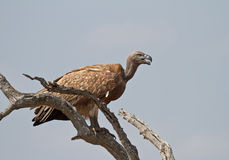 White-backed vulture on the lookout in Africa. A white-backed vulture looking out for its next meal in the Kruger National Park, South Africa royalty free stock photo